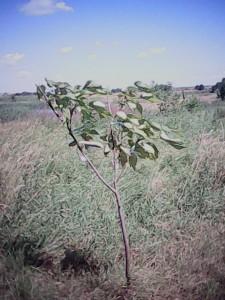 Патріотичні деревця